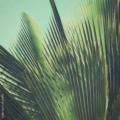 Fototapeta Abstract tropical vintage background. Palm leaves in sunlight.