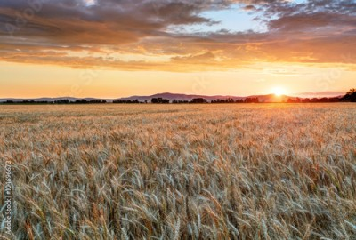 Fototapeta Wheat field at sunset