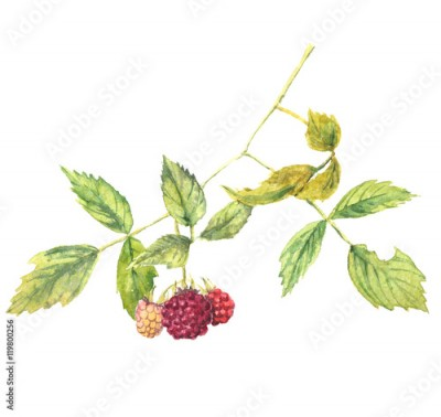 Fototapeta A branch of raspberry - realistic watercolor painting. Isolated on white background.