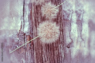 Fototapeta Dandelion seeds - fluffy blowball