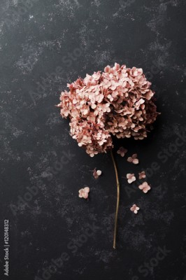 Fototapeta Dried flowers hydrangea on black vintage table top view. Flat lay styling.