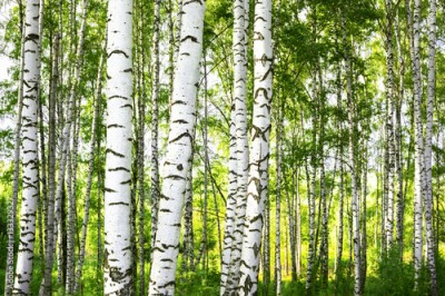 Fototapeta summer in sunny birch forest