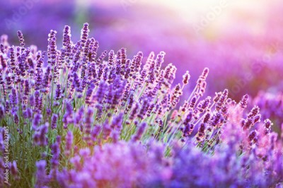 Fototapeta Lavender flower field at sunset.